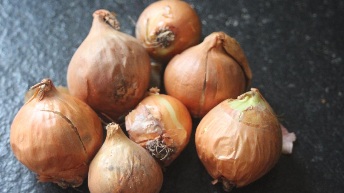 Comment Planter De L Échalote culture d'échalote : sa réussite se joue à la plantation