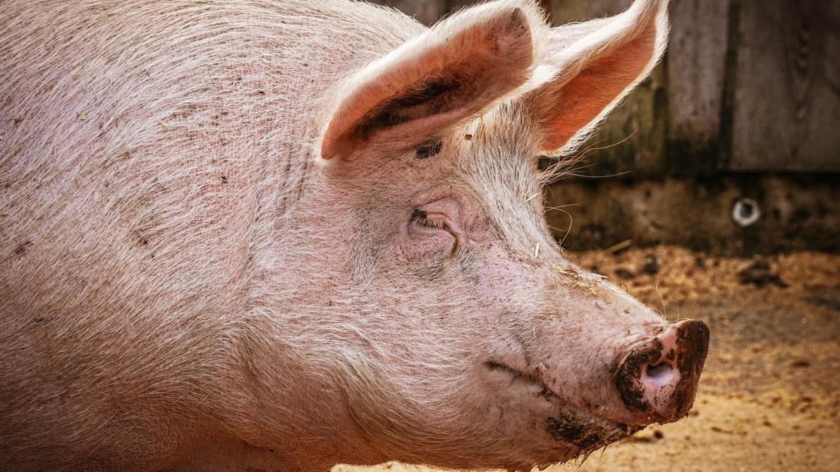 Un premier foyer de peste porcine africaine identifié en ...