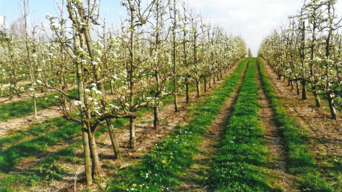 Comment Planter Un Arbre Fruitier en pratique, pourquoi, quand et comment tailler les