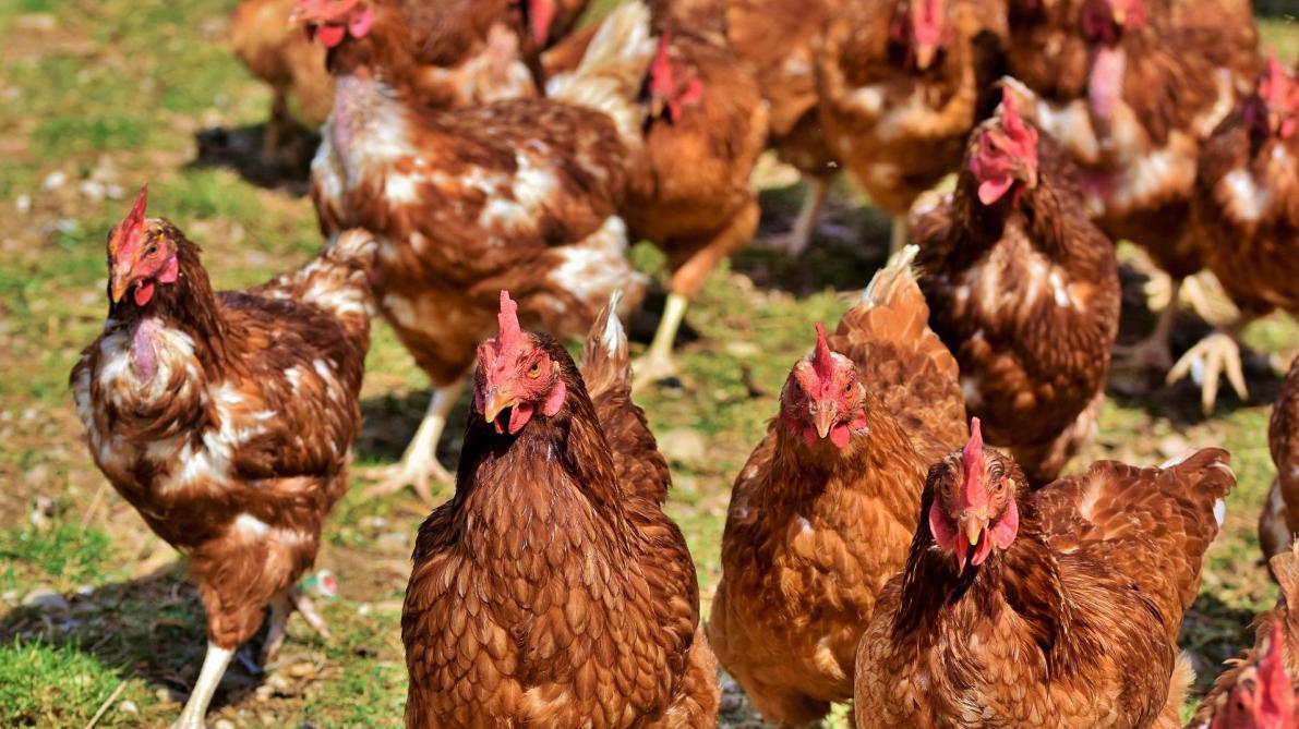 Grippe aviaire: obligation de confinement aux Pays-Bas mais pas en Belgique