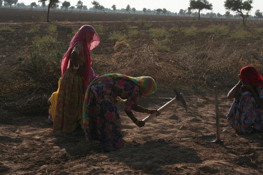 L'Inde affronte la pire invasion de criquets depuis 1993